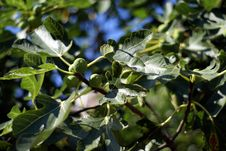 Fig Tree Stock Photography