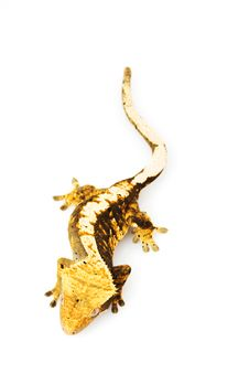 Free Crested Gecko Royalty Free Stock Photography - 6263857