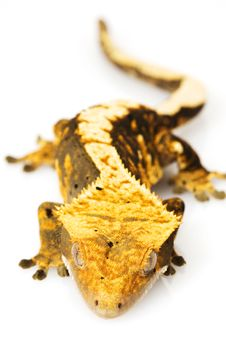 Free Crested Gecko Royalty Free Stock Photography - 6263907
