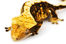 Free Crested Gecko Stock Photos - 6263913