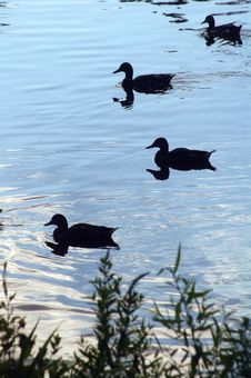 Free Silhouettes Of Ducks Stock Photo - 6263950