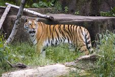 Free Siberian Tiger Stock Images - 6263974