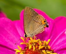 Banded Hairstreak Royalty Free Stock Photos
