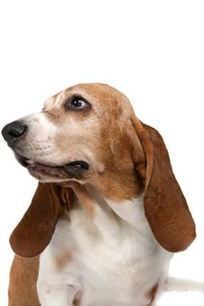 Basset Hound Looking Off To The Side Royalty Free Stock Photography