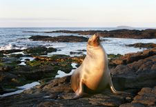 Free Sea Lion On The Shore Royalty Free Stock Photography - 6264517