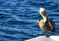 Free Pelican Stock Photos - 6264623