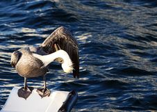 Free Pelican Grooming Stock Images - 6264624