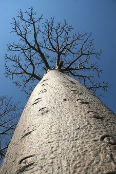 Free Avenue De Baobab, Madagascar Stock Image - 6265091
