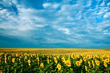 Free Field Of Sunflowers Royalty Free Stock Photo - 6265245