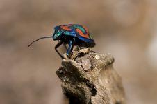 Free Cotton Harlequin Bug On Log Royalty Free Stock Photography - 6265707