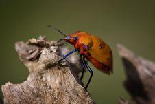 Free Orange Cotton Harlequin Bug Stock Photos - 6265923