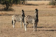 Free Two Zebra Royalty Free Stock Photography - 6266307