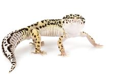 Free Leopard Gecko Stock Images - 6266314