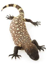 Free Mexican Beaded Lizard (Heloderma Horridum) Royalty Free Stock Photos - 6266558