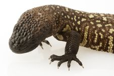 Free Mexican Beaded Lizard (Heloderma Horridum) Stock Image - 6266581
