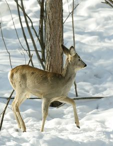 Free Roe Deer. Royalty Free Stock Photos - 6266838