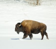 Free Great Bison. Stock Photos - 6266863