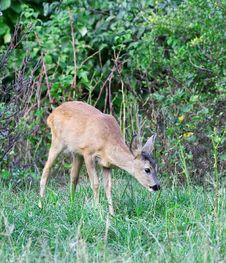 Free Roe Deer. Royalty Free Stock Image - 6266916