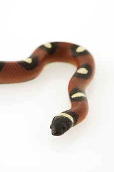 Spotted Mexican Milk Snake Royalty Free Stock Images