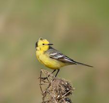 Yellow Wagtail. Stock Photos