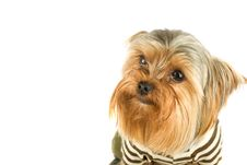 Free Yorkshire Terrier Stock Image - 6267431