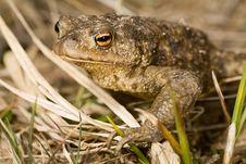 Free Wet Brown Frog Portrait Stock Photo - 6268940