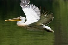 Free Flying Pelican Stock Photography - 6268982