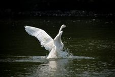 Free Swan Stock Photos - 6269073