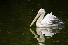 Free Pelican Stock Images - 6269174