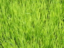Free Green Grass Background Royalty Free Stock Photo - 6269765