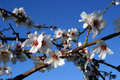 Free Almond Tree Stock Photography - 6273422