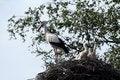 Free Storks-nest Royalty Free Stock Photography - 6277697