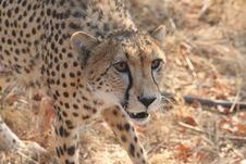 Cheetah 8 Royalty Free Stock Images