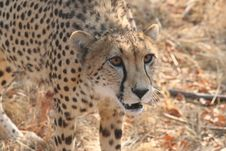 Cheetah 9 Royalty Free Stock Photography