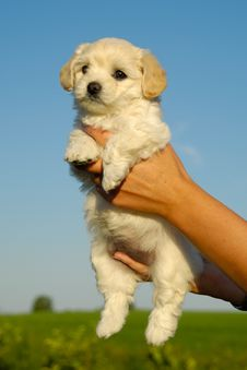 Free White Puppy Stock Photos - 6273583
