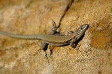 Free Lizard Royalty Free Stock Photos - 6274198