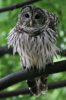 Barred Owl ,Virginia, USA Royalty Free Stock Image