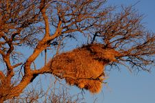 Free Sociable Weavers Nest, Namibia Royalty Free Stock Images - 6274229