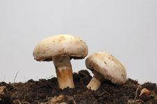 Free Two Mushrooms In The Ground Royalty Free Stock Photo - 6276085