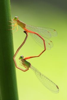 Copulating Damselflies Royalty Free Stock Images