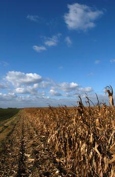 Free Corn Field Stock Photography - 6277522