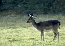 Free Deer And Magpie Stock Images - 6278244