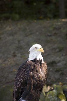 Beautiful Eagle Royalty Free Stock Photography