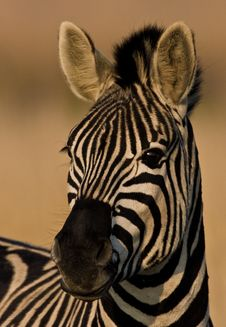 Free Burchells Zebra Portrait Stock Photo - 6279300
