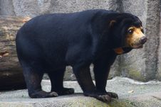 Andean Bear Stock Image