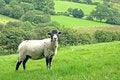 Free Swaledale Sheep Stock Images - 6280264