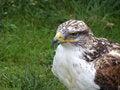Free Bird Of Prey Stock Photos - 6282643