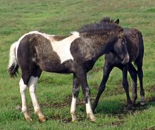 Free Foals 04 Royalty Free Stock Photography - 6280097
