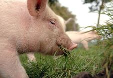 Free Eating Piglet Close Up Stock Photography - 6280322