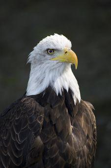 Big Eagle Royalty Free Stock Photography